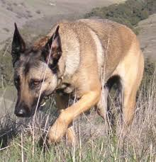 belgian shepherd special forces vixen the belgian malinois dogs daily puppy