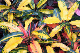 mango croton tropiscape palmpedia