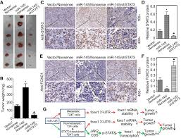 role of stat3 and foxo1 in the divergent therapeutic responses of