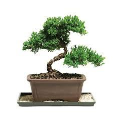 brussel u0027s bonsai green mound juniper bonsai outdoor dt 7079gmj