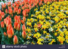 tulipa orange emperor fosteriana tulip narcissus itzim jenny