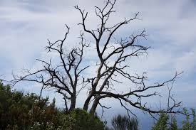 file leafless tree jpg wikimedia commons