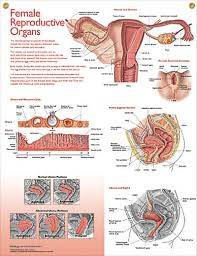 Anatomy And Physiology Human Body Top 25 Best Female Reproductive System Functions Ideas On
