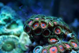 led lighting for zoanthids zoanthid coral care id and feeding in a reef aquarium