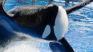 seaworld killer whale that killed its trainer dies