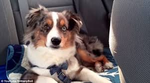 australian shepherd youtube herding dog howls along to frozen u0027s let it go daily mail online