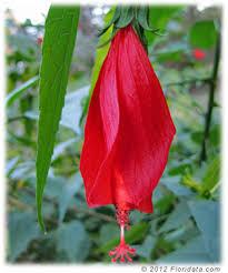 Turks Cap Malvaviscus Penduliflorus1 Jpg