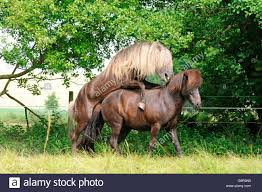 mustangs mating horses stallion and mare mating stud stock