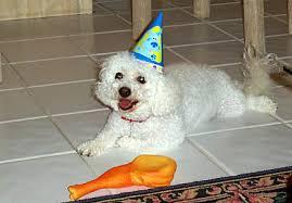 bichon frise years happy birthday senna bichon frise senna bichon five years old 5