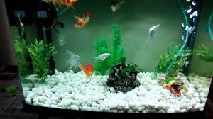 home aquarium with gold fish angel fish carps youtube