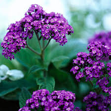 Fragrant Flowers Top Annuals For Fragrant Flowers