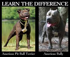 american stanford terrier y american pitbull terrier what is the difference between american bully and american pit