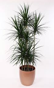 amazon com madagascar dragon tree dracaena marginata 4