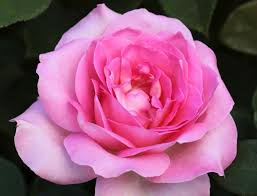 Fragrant Rose Plants - best 25 tea rose perfume ideas on pinterest knowing perfume