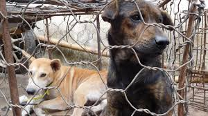 dogs at dinner table asia in 3 minutes indonesia scolded for dog meat trade cambodia