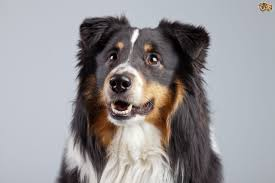 belgian shepherd or border collie border collie dog breed information buying advice photos and