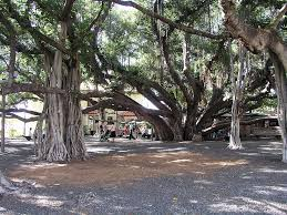 things to do on maui lahaina banyan tree things to do on maui pinterest free things