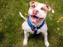 american pitbull terrier 10 months five questions to ask before adopting a pit bull petfinder