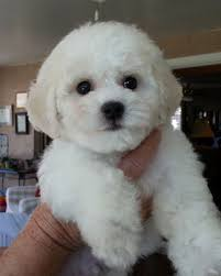 bichon frise 7 weeks old puppies misty and wills arrived 9 19 14 u2013 hollyhock bichons