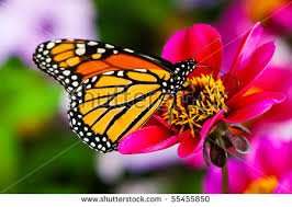 butterfly flower monarch butterfly on flower stock photo 55455850