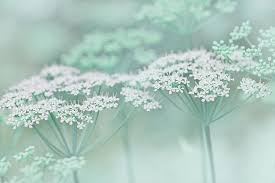 mint green flowers dainty white flowers teal photograph schell