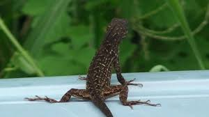 a florida gecko lizard they are everwhere down here in sony hd