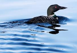 lead poisoning deaths up in new hshire loons despite new