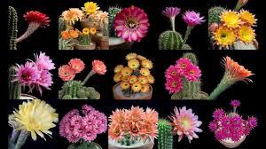 flower blooming freaky flowers echinopsis cacti in bloom on vimeo