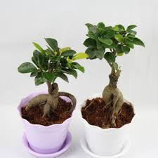 plants for office desk indoor flowers plants radiation resistant bonnyclabber small bonsai