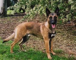 belgian malinois dog dog breed directory belgian malinois dog breed