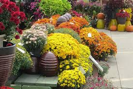 Picture Of Mums The Flowers - how to choose the perfect mum earl may