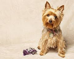 silky haircuts 28 best silky terrier haircuts images on pinterest yorkie