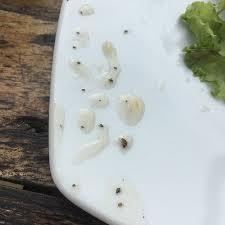 moucheron dans la cuisine moucherons dans la cuisine unique des dizaines de mouches et