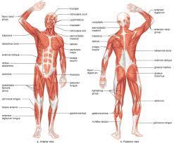 Anatomy Pancreas Human Body Organs In The Female Human Body Human Anatomy Liver And Pancreas