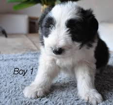 bearded collie adoption bearded collie puppies for sale lydney gloucestershire pets4homes