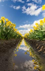 Skagit Valley Tulip Festival Bloom Map Skagit Tulip Festival Photo Tours 2017 Registration Os Now Open