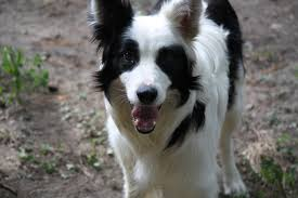 australian shepherd rescue nc save our herders outreach home