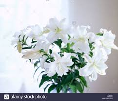 White Lily Flower White Lily Casablanca Stock Photos U0026 White Lily Casablanca Stock