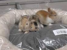 gabbie per conigli nani usate conigli nani animali in vendita e in regalo a napoli kijiji