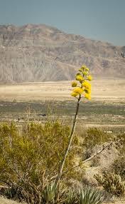 Flowers Anza Borrego Desolate Dramatic Anza Borrego Desert State Park Ca U2013 Paint Your