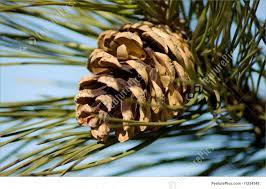 white pine cone winter pine cone stock picture i1234348 at featurepics