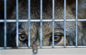 Georgia travel contests images Georgia wildlife officials try contest to trim coyote population jpg