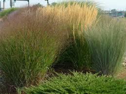 unique grass landscaping plants decorative grass