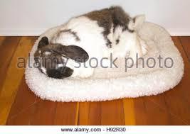 Rabbit Beds Holland Lop Pet Rabbit Sleeping In His Fleece Bed In A Hotel Room