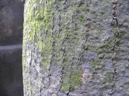 White Oak Tree Bark Bark Wikipedia