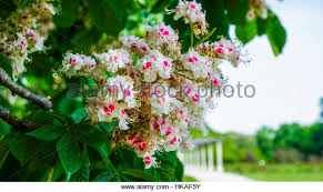 tiny white flowers tree bright stock photos tiny white flowers