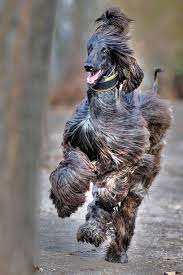 does an afghan hound shed the 202 best images about for asia all afghan hounds go to