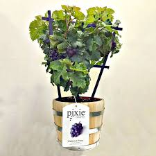 Decorative Coolers For The Patio by Pixie Grapes Ornamental And Edible Grapes For The Patio The
