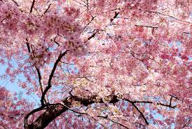 cherry blossom tree cherry blossom tree desktop wallpaper restaurant pinterest