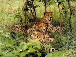 affectionate cheetahs wallpapers 100 best cheetahs images on pinterest baby cheetahs baby